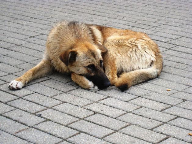Отлов собак в Красноярске шел с нарушениями: компанию подозревают в завышении объема работ