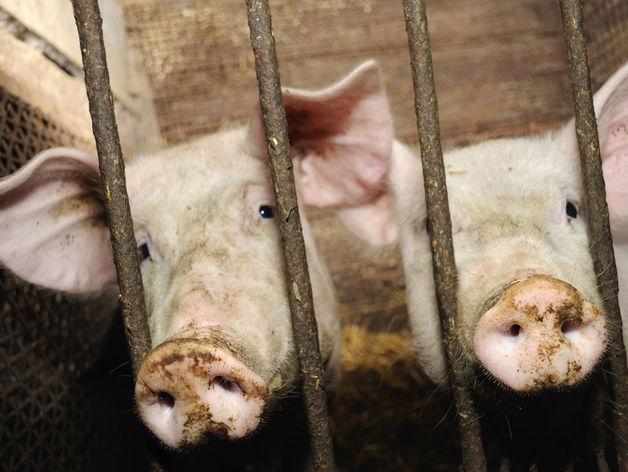 Свиней из Швейцарии в Красноярском крае арестовали и посадили в изолятор