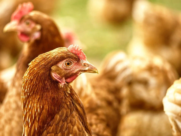 В Красноярске вновь банкротят Бархатовскую птицефабрику