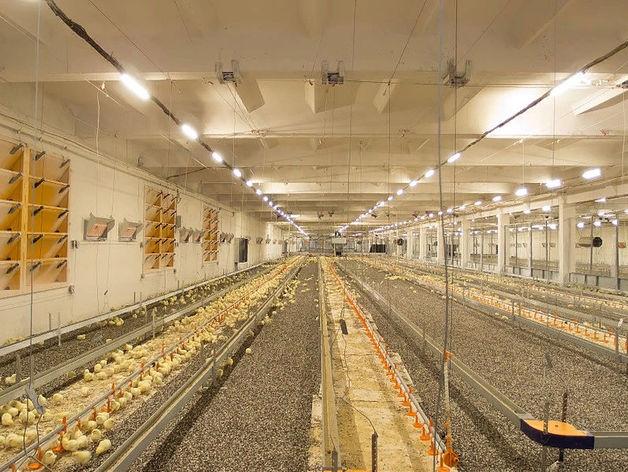 Россельхознадзор обнаружил опасные бактерии в мясе птицефабрики из Красноярского края