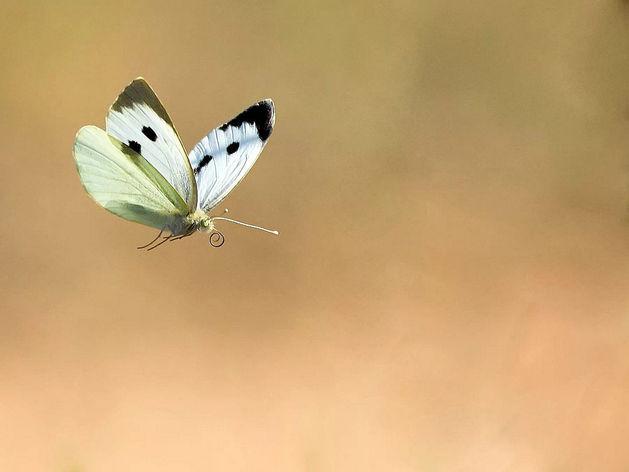 Красноярск заполонили белоснежные бабочки-капустницы