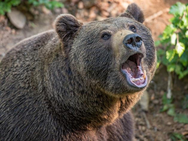 В Ергаках медведь убил туриста и ранил другого