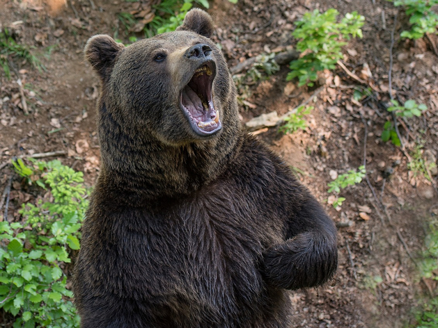 В Красноярском крае полицейский застрелил медведя, который хотел напасть на школьницу