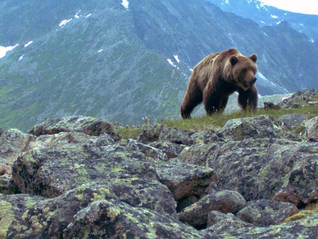 В «Ергаках» отстреляют опасных медведей