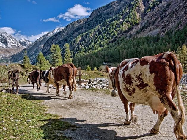 «В плюсе только свиньи» — в Красноярском крае сокращается поголовье скота